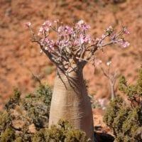 54798435 - flowering bottle tree in socotra island, yemen.