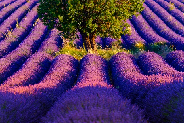 61591333 - lavender field at plateau valensole, provence, france
