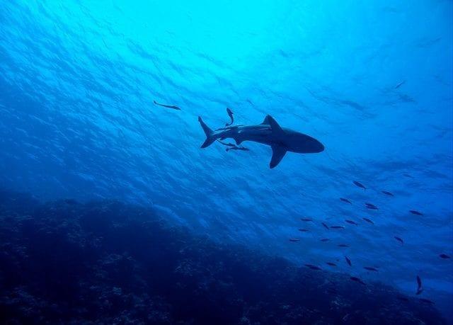 shark-2683184_640