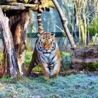 tiger-3191380_640