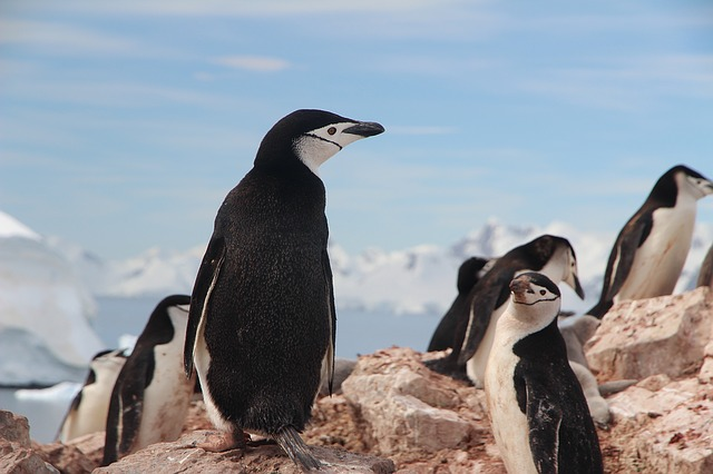 chinstrap-penguin-1149258_640